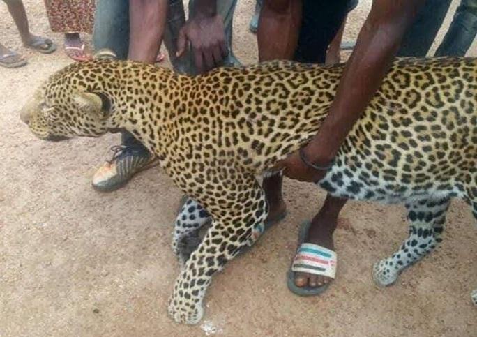 Leopard killed in northern Sierra Leone 3