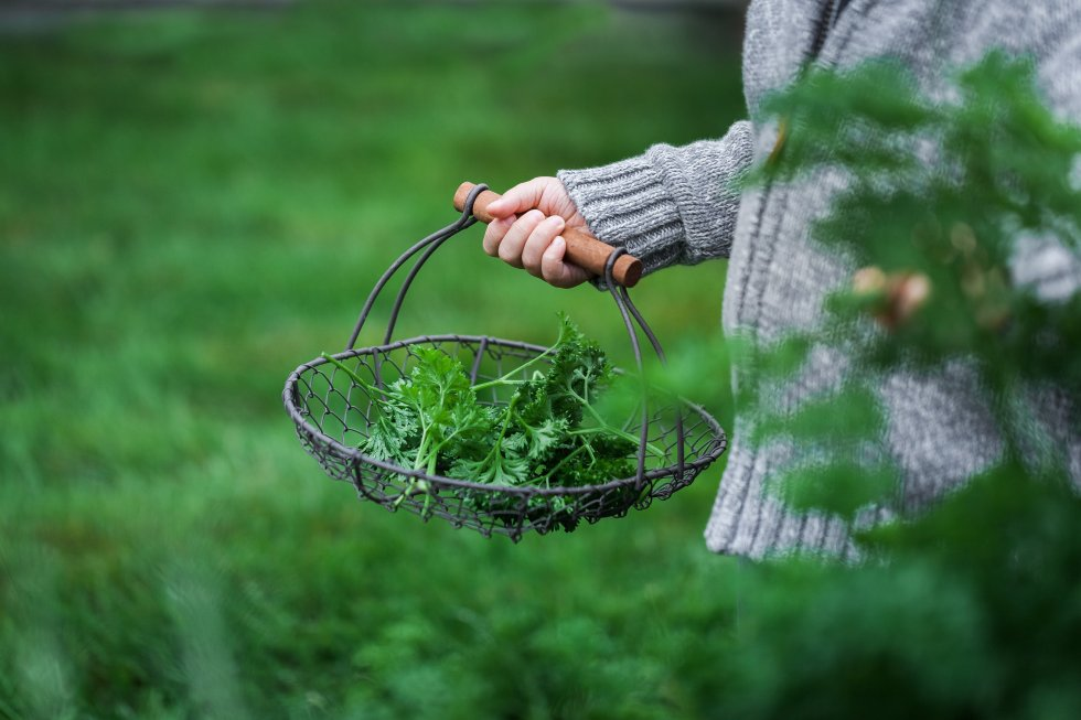 harvesting parsley