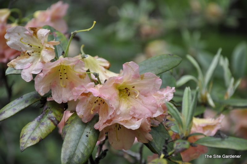 Rhododendron Uses