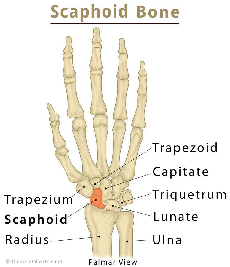 Scaphoid Bone Definition Location Anatomy Diagram   The ...
