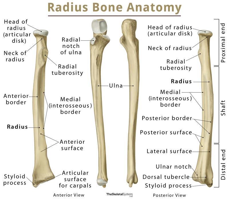 Radius: Definition, Location, Functions, Anatomy, Diagram