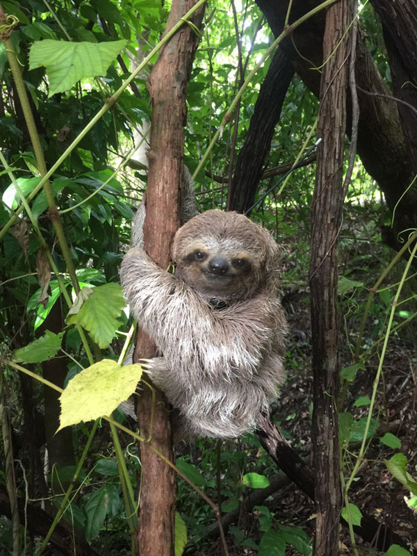 The Sloth Institute Adopt A Sloth In Costa Rica With The