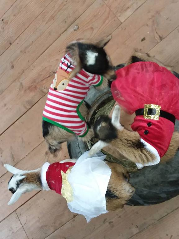 Kitsap Goat Yoga is on hold during the pandemic