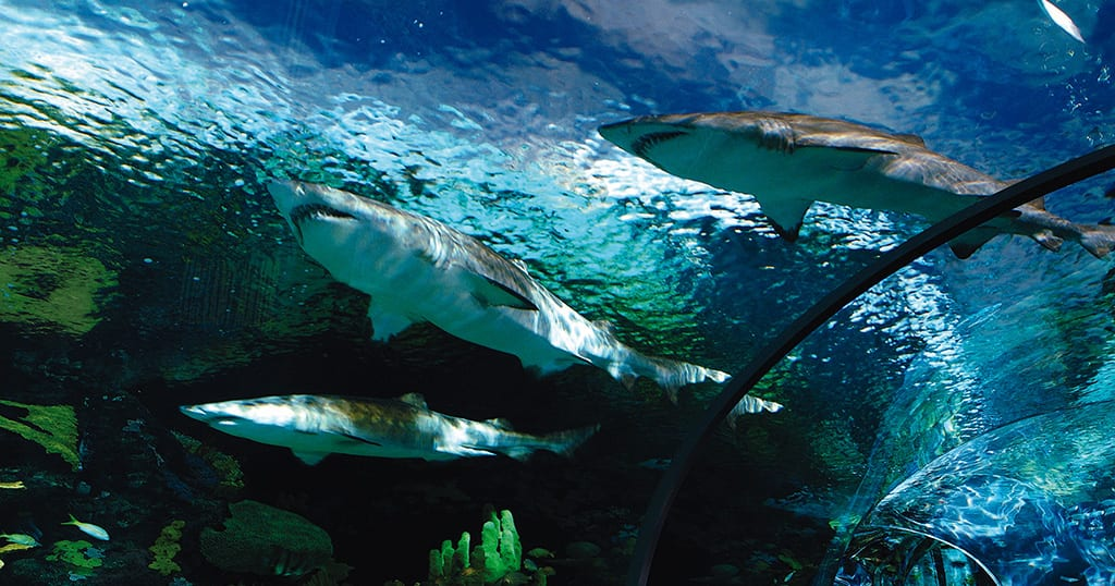 Sharks in a underwater tunnel at Ripley's