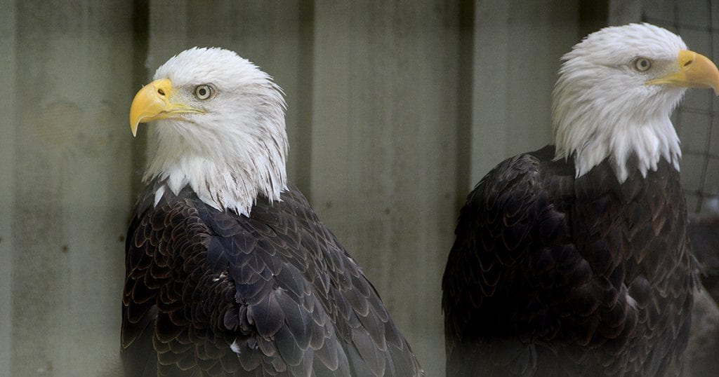 A pair of Eagles at Dollywood's Mountain Eagle Sanctuary. (photo by Daniel Munson/TheSmokies.com)