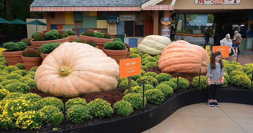 Andy's pumpkin now sits in the colossal pumpkin display at Dollywood's Harvest Festival (photo by Daniel Munson/TheSmokies.com)