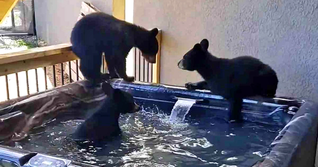Three cubs enjoy a hot tub