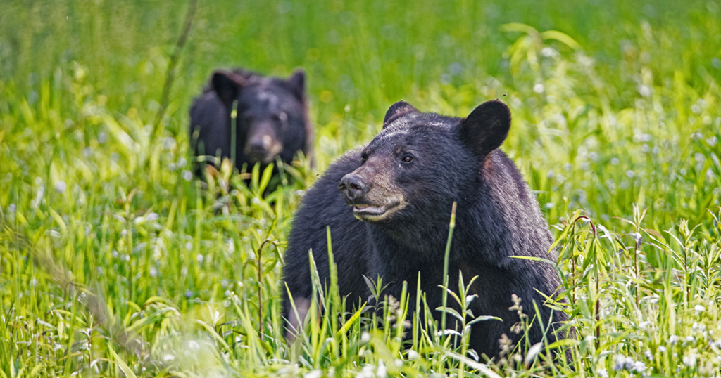 While black bear attacks are rare, a momma bear with her baby cub is more likely to be aggressive