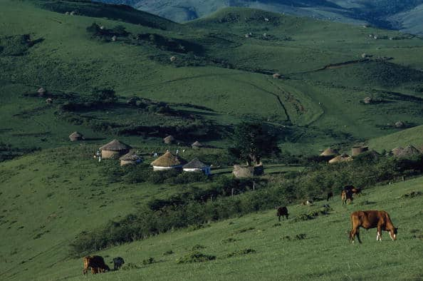 SOUTH AFRICA - NOVEMBER 01: Cows graze near Xhosa village in hills of Transkei, Transkei, Republic of South Africa (Photo by Kip Ross/National Geographic/Getty Images)