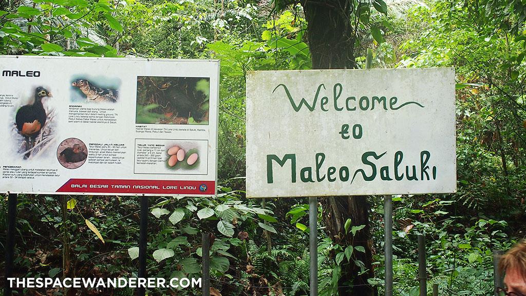 Welcome to Maleo Saluki