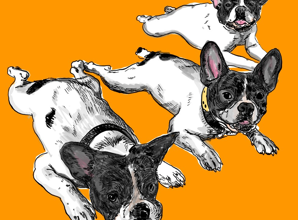 Drawing french bulldog