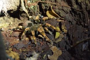Orange kneed tarantula