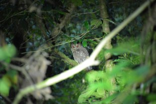 Owl - probably disappointed after being enticed
