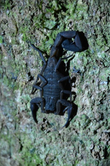 Scorpion in normal light