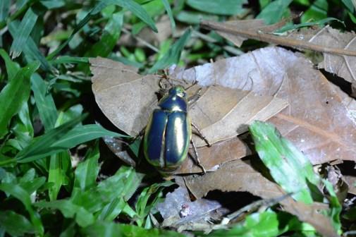 Gorgeous golden beetle