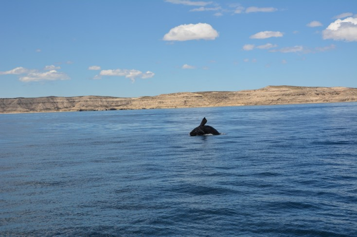 Whales in Welsh Patagonia