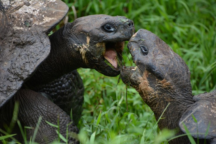 """My shell is bigger than yours"" - Giant tortoise argument"