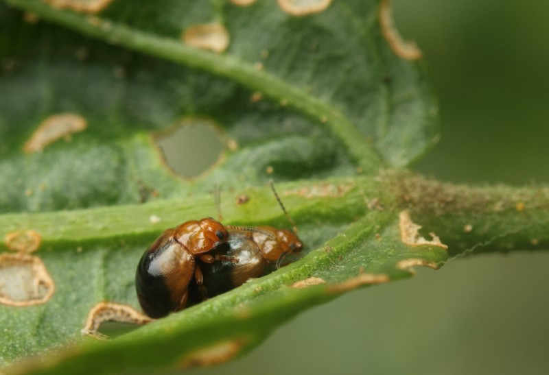 The holes are chewed in the hibiscus by these - prolifically reproducing - tiny beetles
