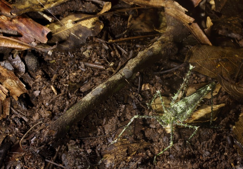 The spiny katydid's body is about 5 cm, the antenna's easily reach 20 cms.