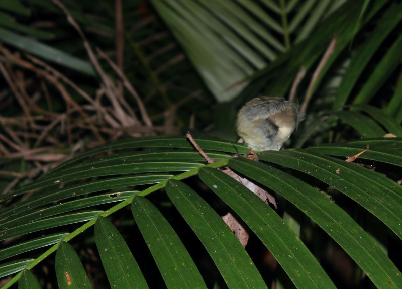 Roosting bird an a flimsy palm branch: no snake can get to it without waking it up.