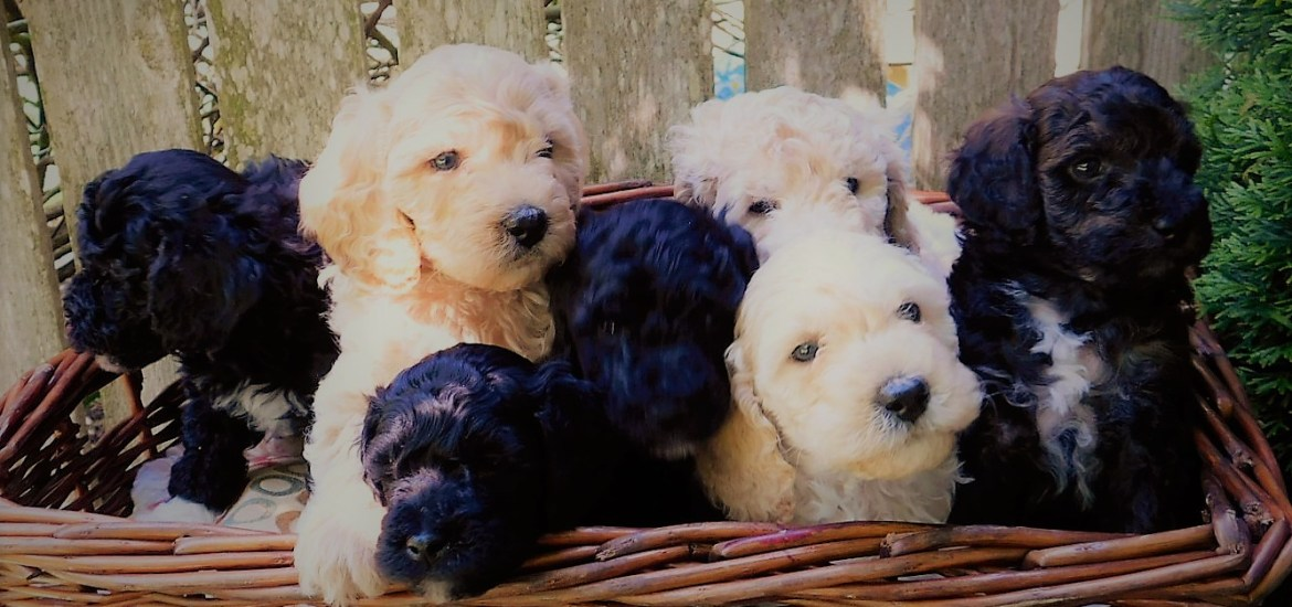 Poodle Puppies in Washington State