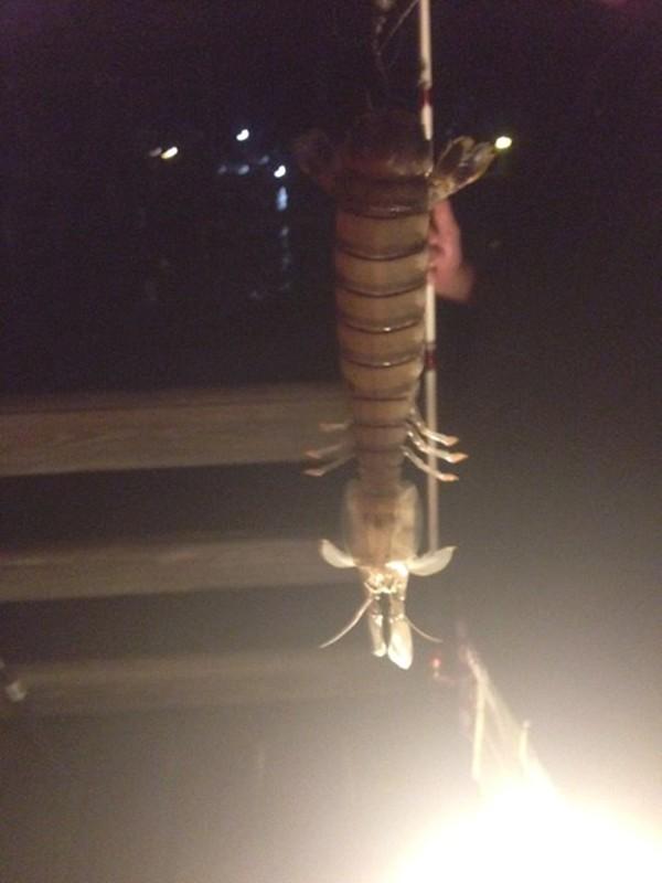 Giant Shrimp Captured Pics