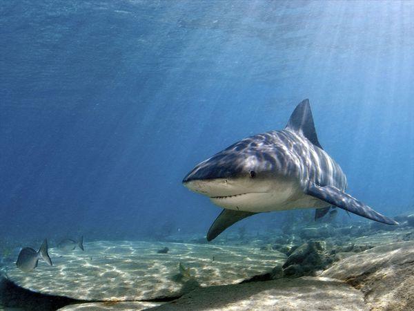 Jupiter Inlet shark