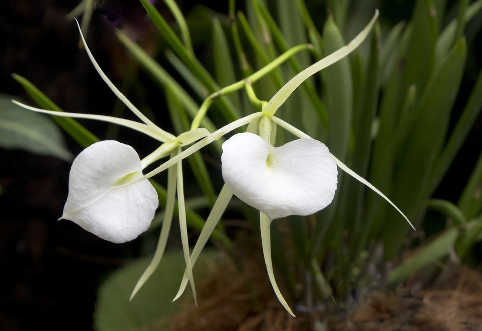 How to Grow Brassavola Orchids