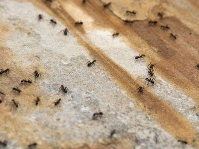using liquid ant bait
