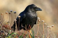 Raven or Crow: Learn to Identify Both