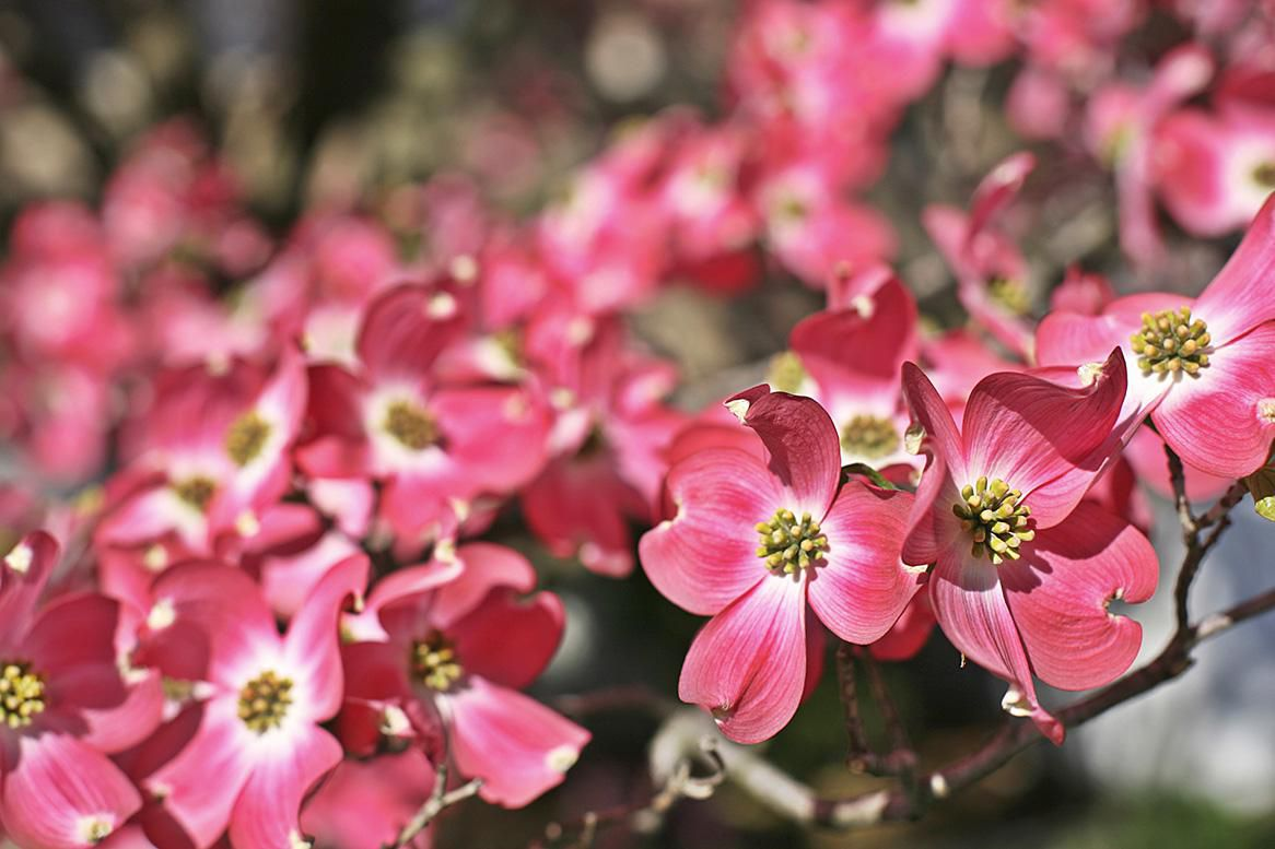Consider These Flowering Trees and Shrubs for Your Spring