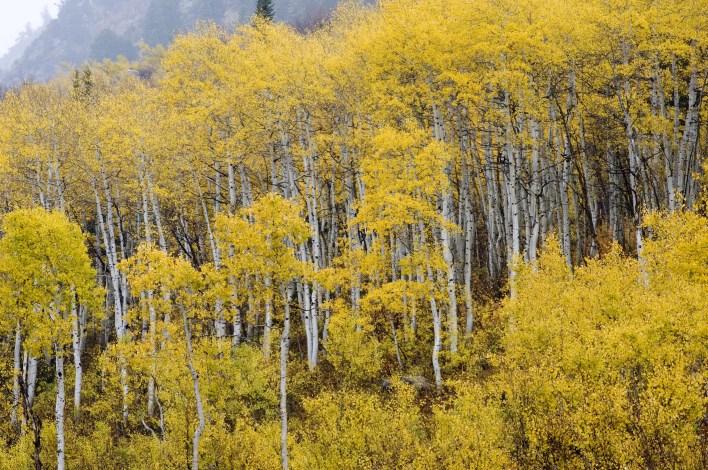 Fall Aspens (Populus tremuloides)