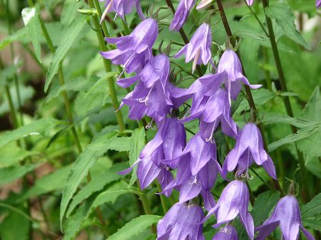 How To Grow And Care For Ladybells