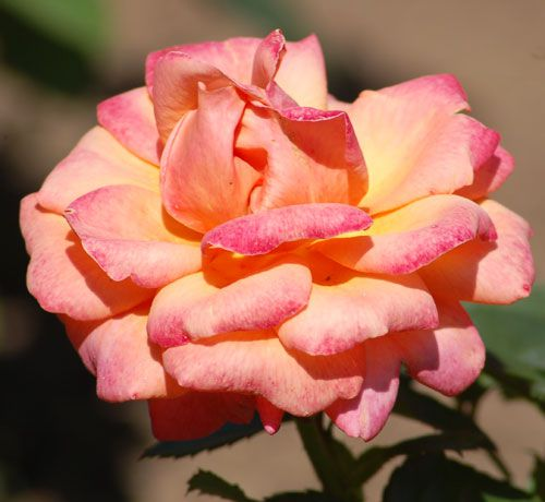 types of roses by
