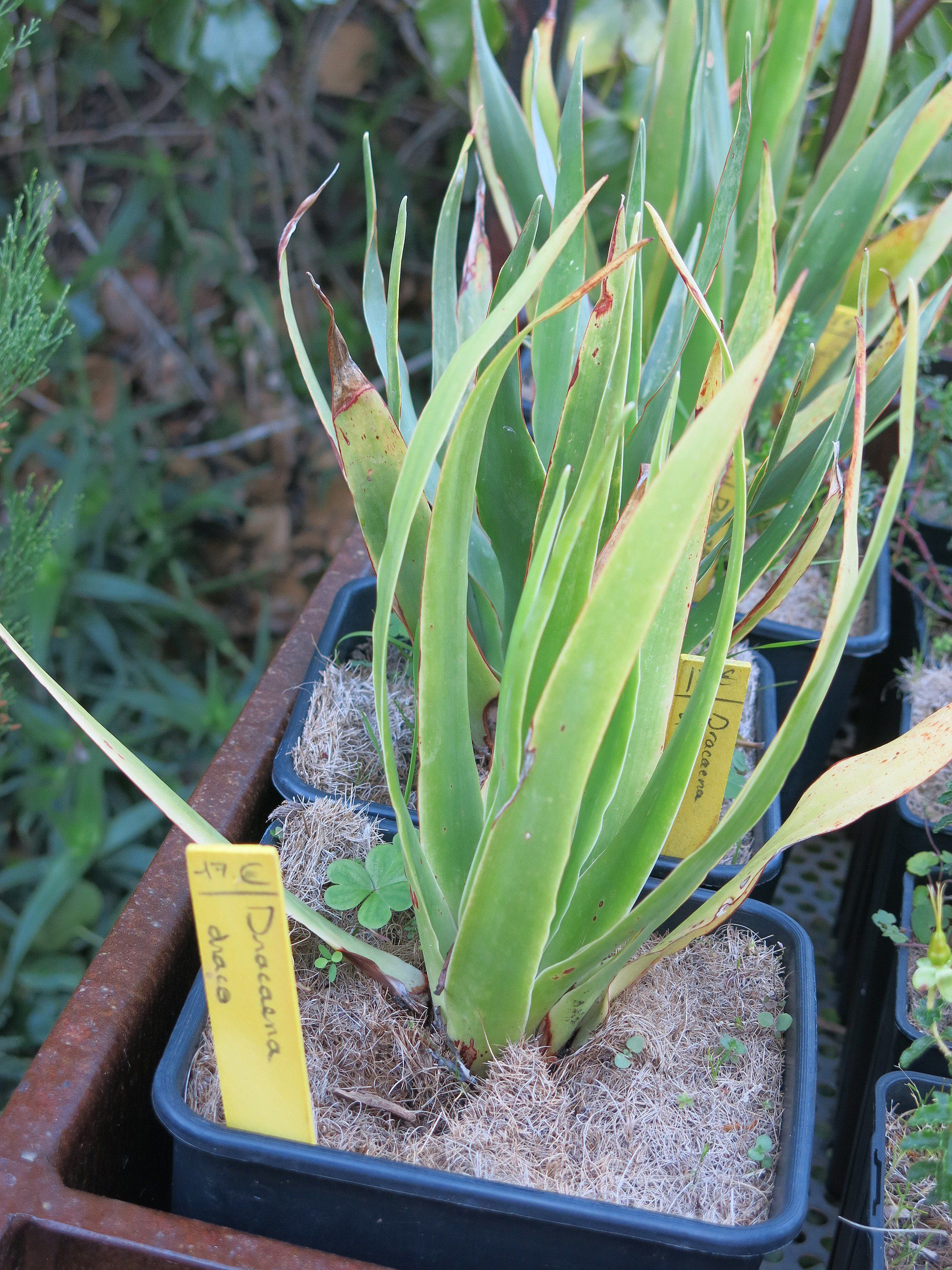 How to Grow a Dracaena Draco Plant