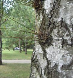 magnolium tree diagram [ 2304 x 1728 Pixel ]