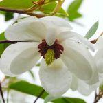 Treating Leaf Spot Fungus On Magnolia Trees
