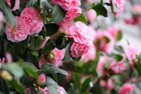 camellia flowers a classic