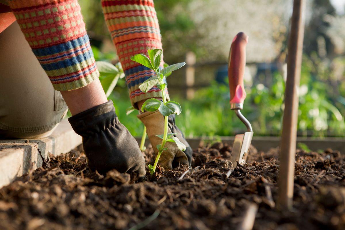 gardener planting on broad bean plants 154961036 5b3e88cc46e0fb0037f8c71c