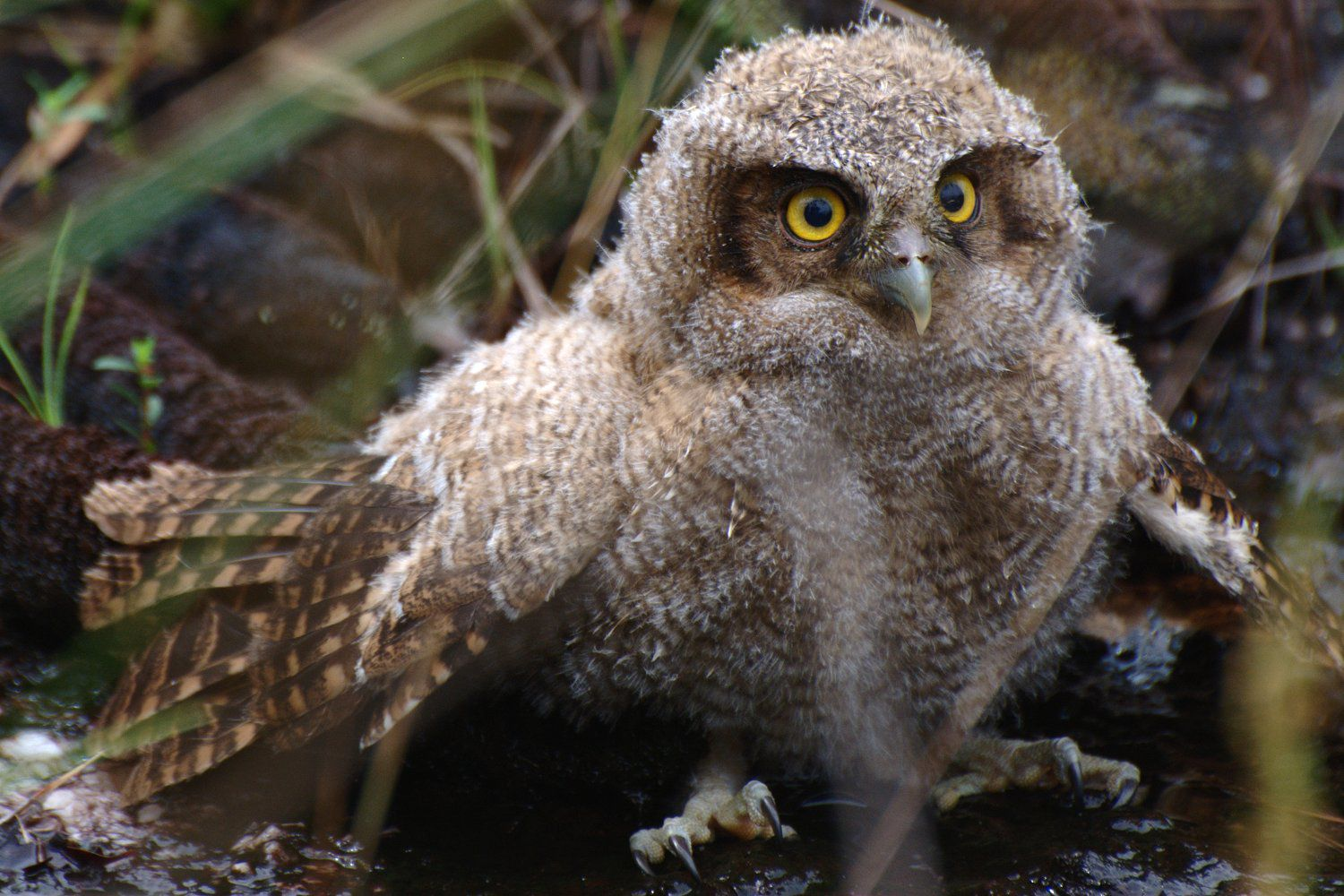What Do You Call a Baby Owl  All About Owlets