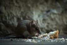 8 Important Prep Steps Rodent Control Service