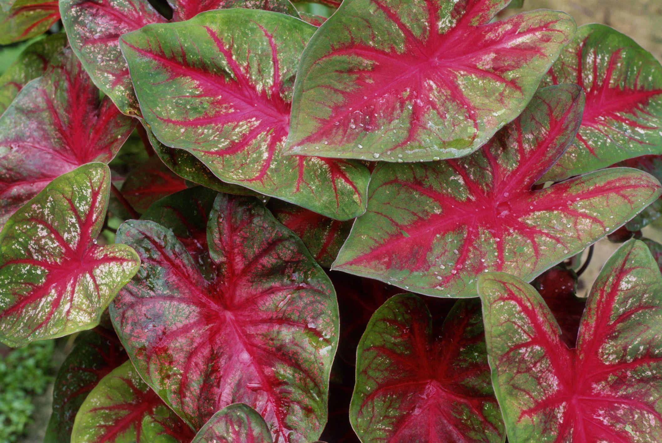 Caladiums  Tropical Perennials for Every Shade Garden
