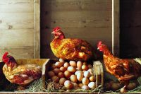 Keep Your Laying Hens Happy Through the Winter