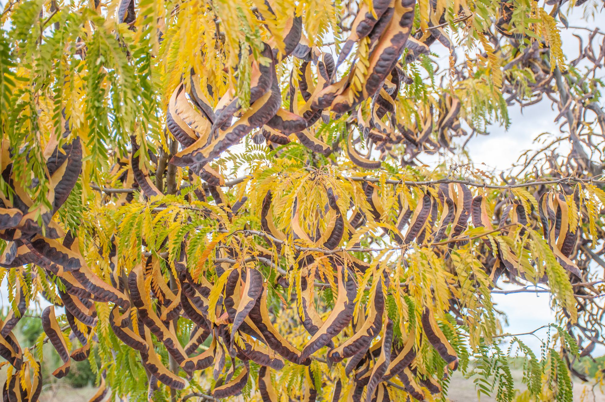 Black Locust Vs Honey Locust Pods