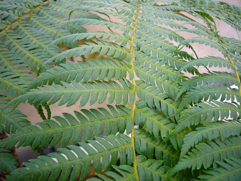 Australian Tree Fern Growing Profile