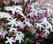 which jasmine plant is most fragrant