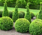 best shrubs for topiary