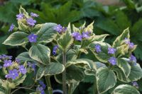 Brunnera Plant: Care and Growing Guide