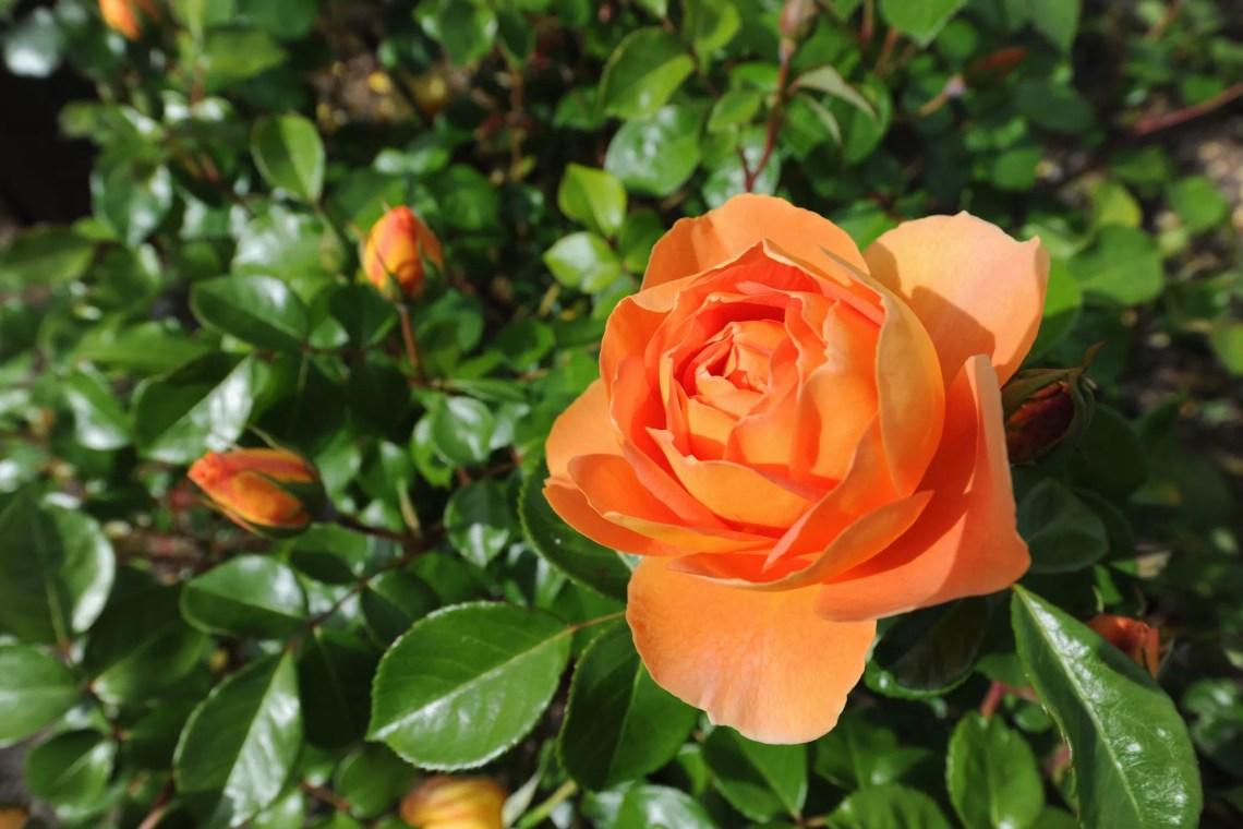 Pat austin rose