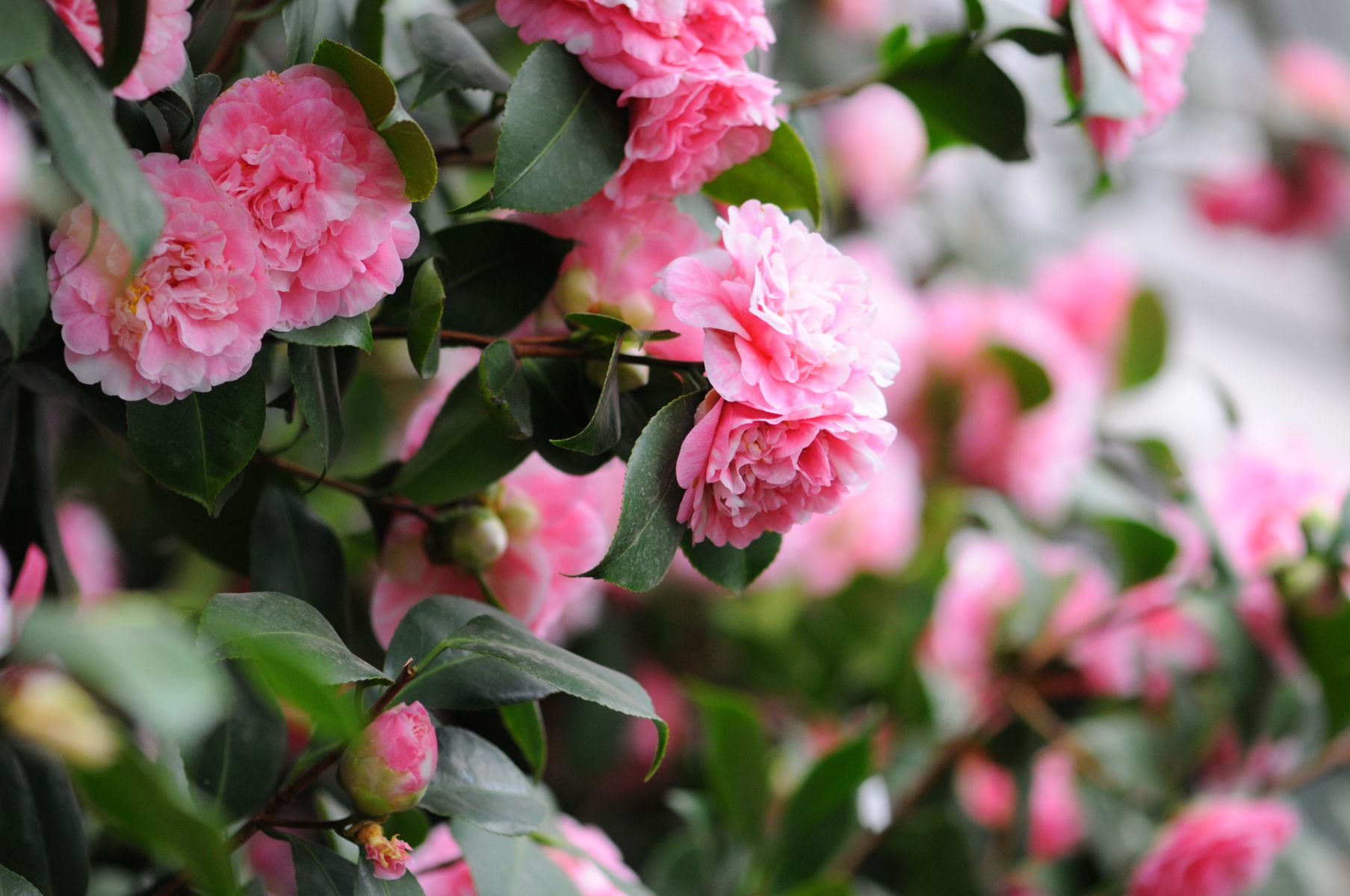 Camellia Flowers A Classic Southern Shrub